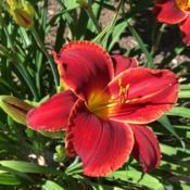 Location: My garden, Pequea, Pennsylvania, USADate: 2018-07-09Beautiful and reliable! I am mystified that Scarlet Romance was n