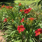 Location: My garden, Pequea, Pennsylvania, USADate: 2018-07-09Beautiful and reliable clumps! I am mystified that Scarlet Romanc
