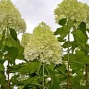 Location: Botanical Gardens of the State of Georgia...Athens, GaDate: 2018-07-08Panicle Hydrangea 001