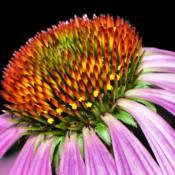 Location: Botanical Gardens of the State of Georgia...Athens, GaDate: 2018-07-08Purple Coneflower 059