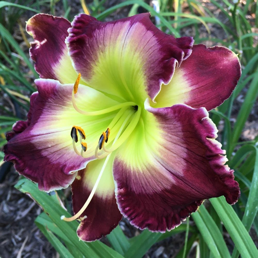 Photo of Daylily (Hemerocallis 'Royal Extravaganza') uploaded by csandt
