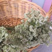 Location: VarnaDate: 12.07.2018An Queen Anne's Lace ready for drying
