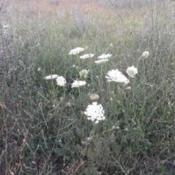 Location: VarnaDate: 12.07.2018An Queen Anne's Lace near the field of Varna,Bulgaria