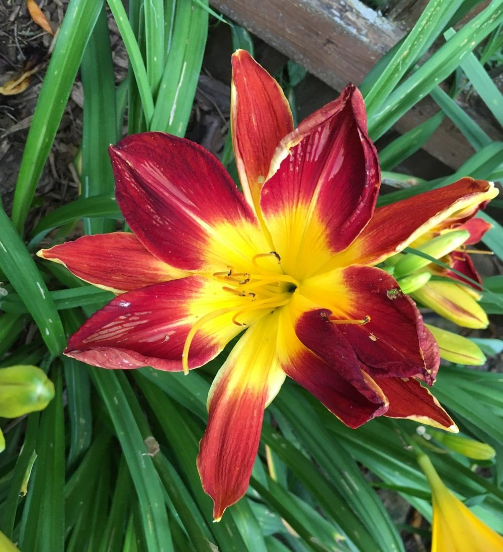 Photo of Daylily (Hemerocallis 'Ruby Spider') uploaded by ljb5966
