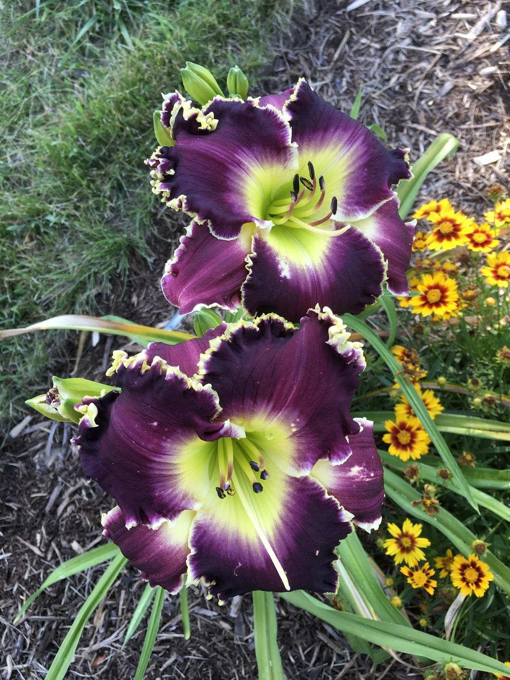 Photo of Daylily (Hemerocallis 'Soli Deo Gloria') uploaded by Legalily