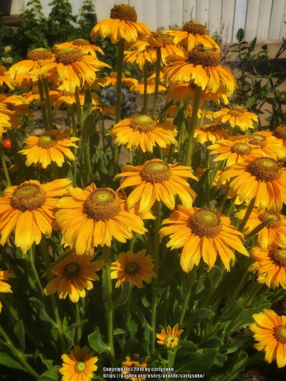 Photo of Black Eyed Susans (Rudbeckia) uploaded by carlysuko
