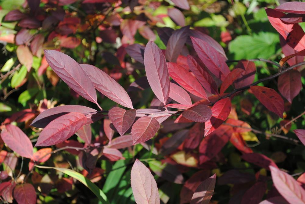 Photo Of The Fall Color Of Virginia Sweetspire Itea Virginica Little Henry Posted By Ilparw Garden Org,Rotel Dip Can