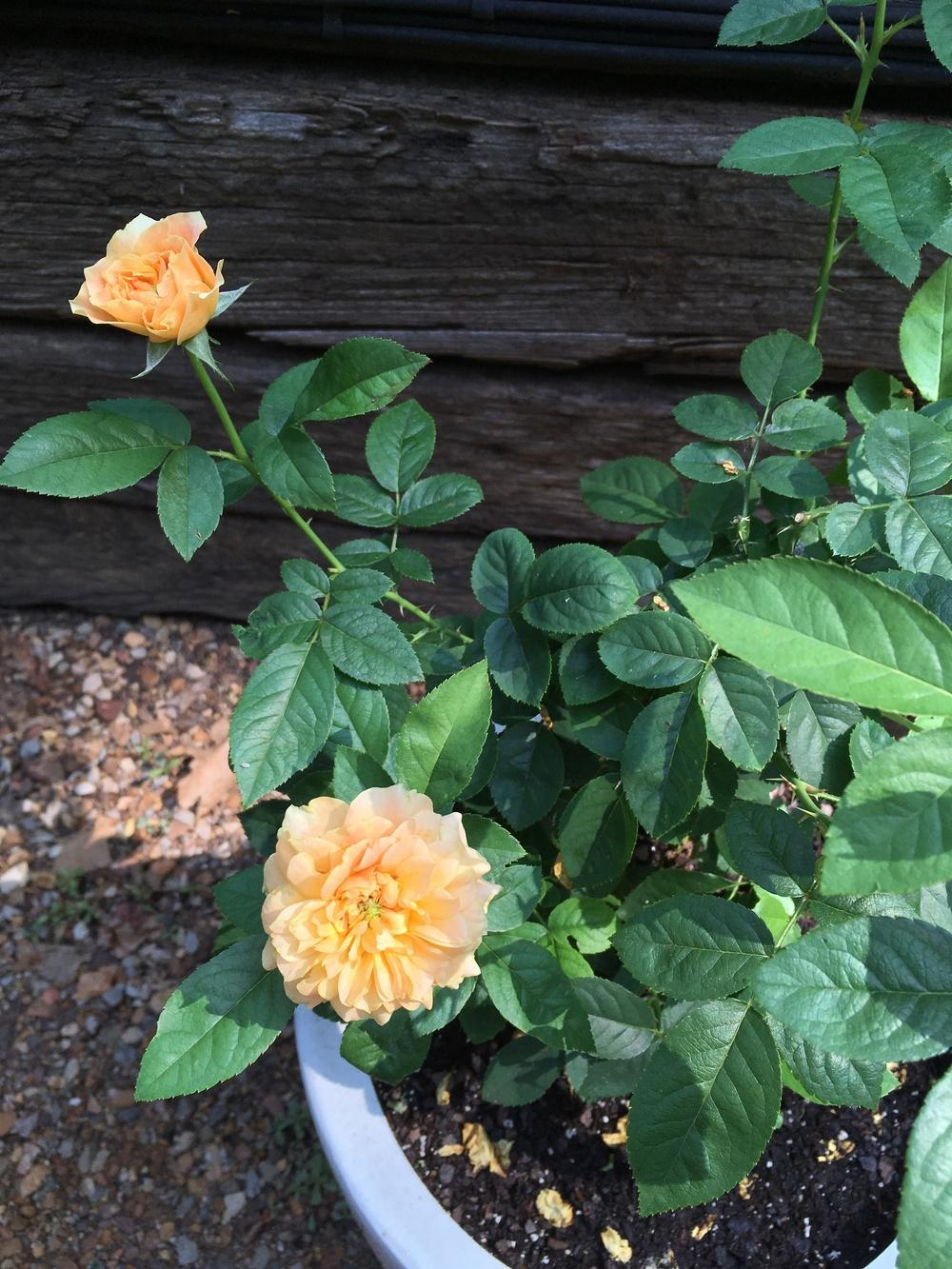 Photo of Rose (Rosa 'Easy Going') uploaded by Lakeside