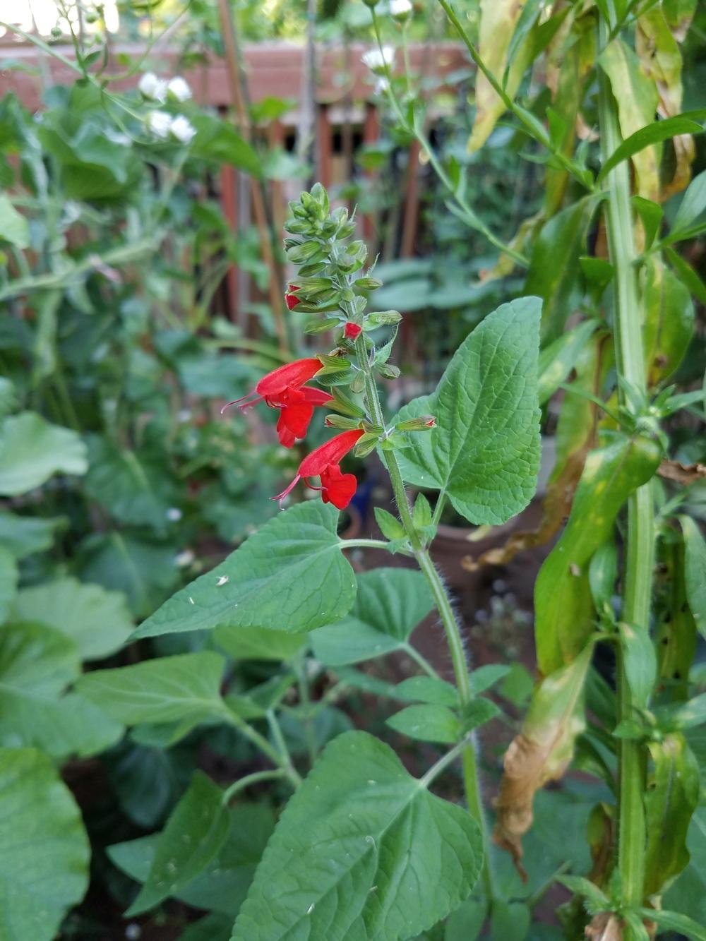 Photo of Scarlet Sage (Salvia coccinea) uploaded by Gerris2
