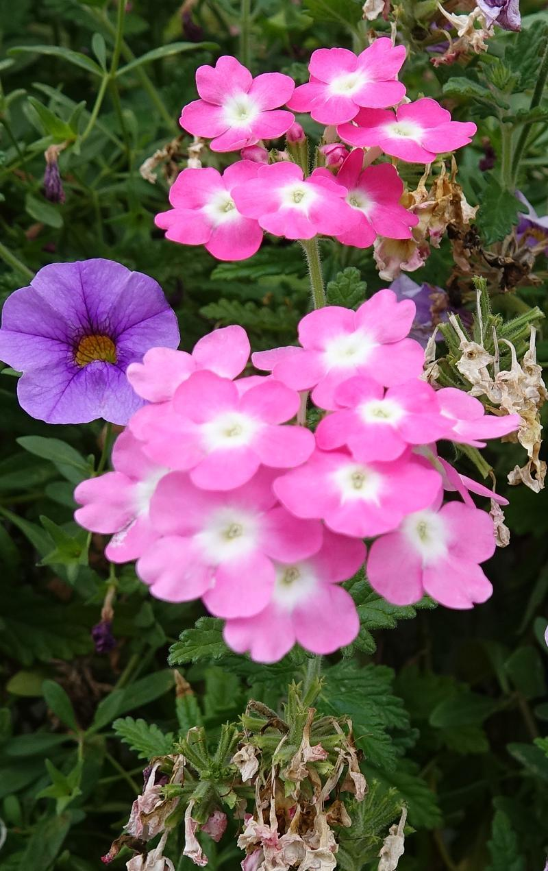 Plant Id Forum What Is This Pink And White Small Flower Garden