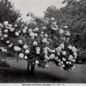 Date: c. 1913photo from the 1913 Cherry Hill Nurseries catalog, West