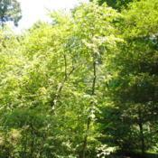 Location: Longwood Gardens in southeast PADate: 2018-07-10a few mature trees together in Pierce's Woods