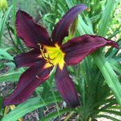 Location: My garden, Pequea, Pennsylvania, USADate: 2018-07-18Chief Black Hand's first bloom ever in my garden; planted August
