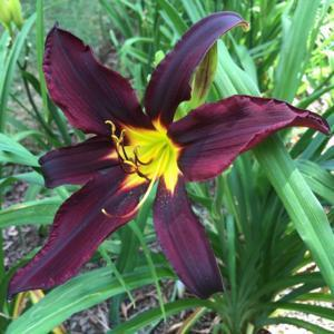 Chief Black Hand's first bloom ever in my garden; planted August