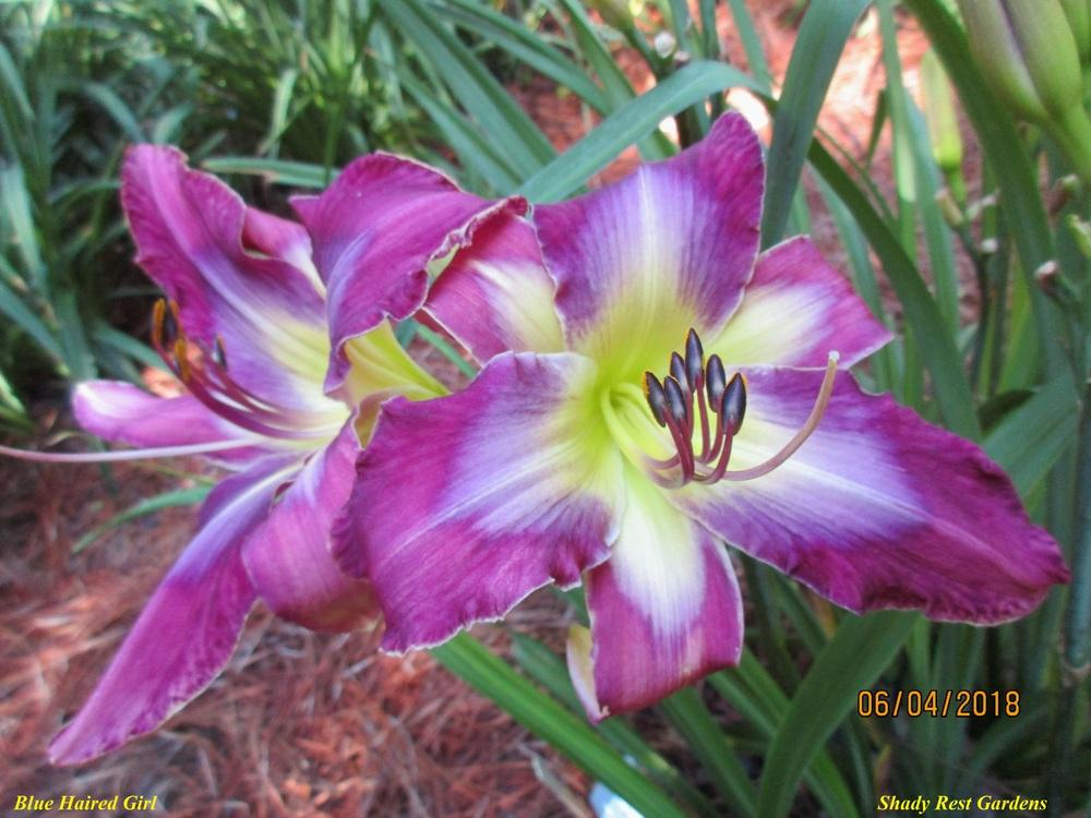 Photo of Daylily (Hemerocallis 'Blue Haired Girl') uploaded by Casshigh