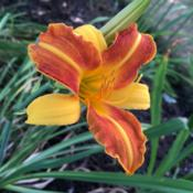 Location: My garden, Pequea, Pennsylvania, USADate: 2018-07-20First bloom ever in my garden; came here as a tiny gift plant.