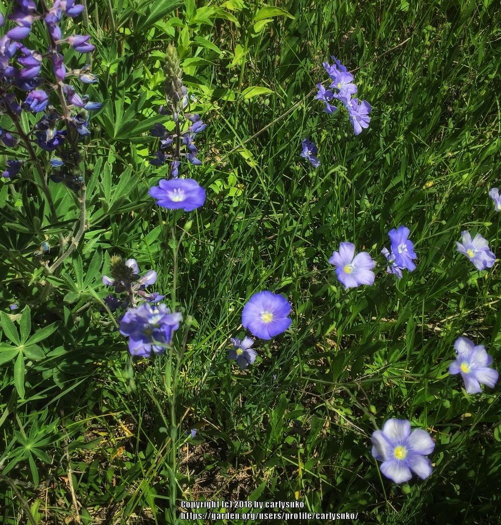 Photo of Wild Blue Flax (Linum lewisii) uploaded by carlysuko