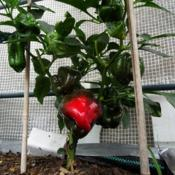 Location: Inside small garden plastic house. Date: 2018-07-21Green / Red Peper plant , bought as a small plug , did