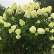 Location: My garden in Warrenville, SCDate: 2018-07-15check out how much this plant has grown in my garden by looking a