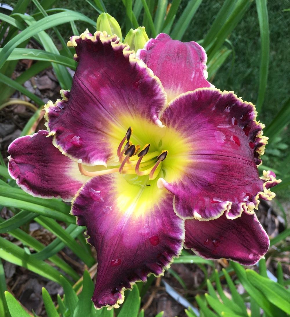 Photo of Daylily (Hemerocallis 'Soli Deo Gloria') uploaded by ljb5966