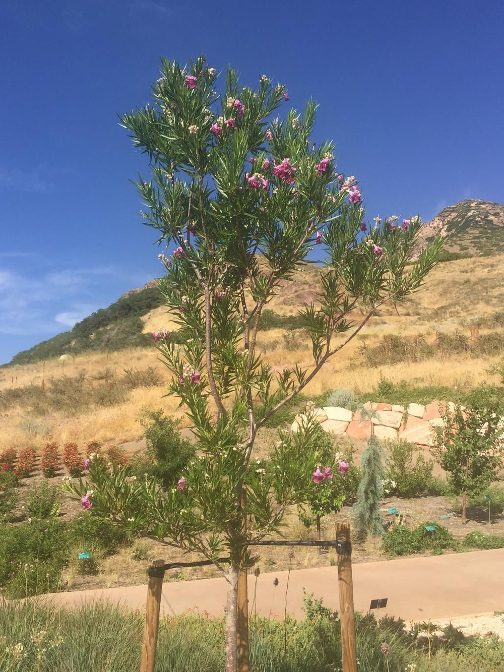 Photo of Desert Willow (Chilopsis linearis) uploaded by SpringGreenThumb