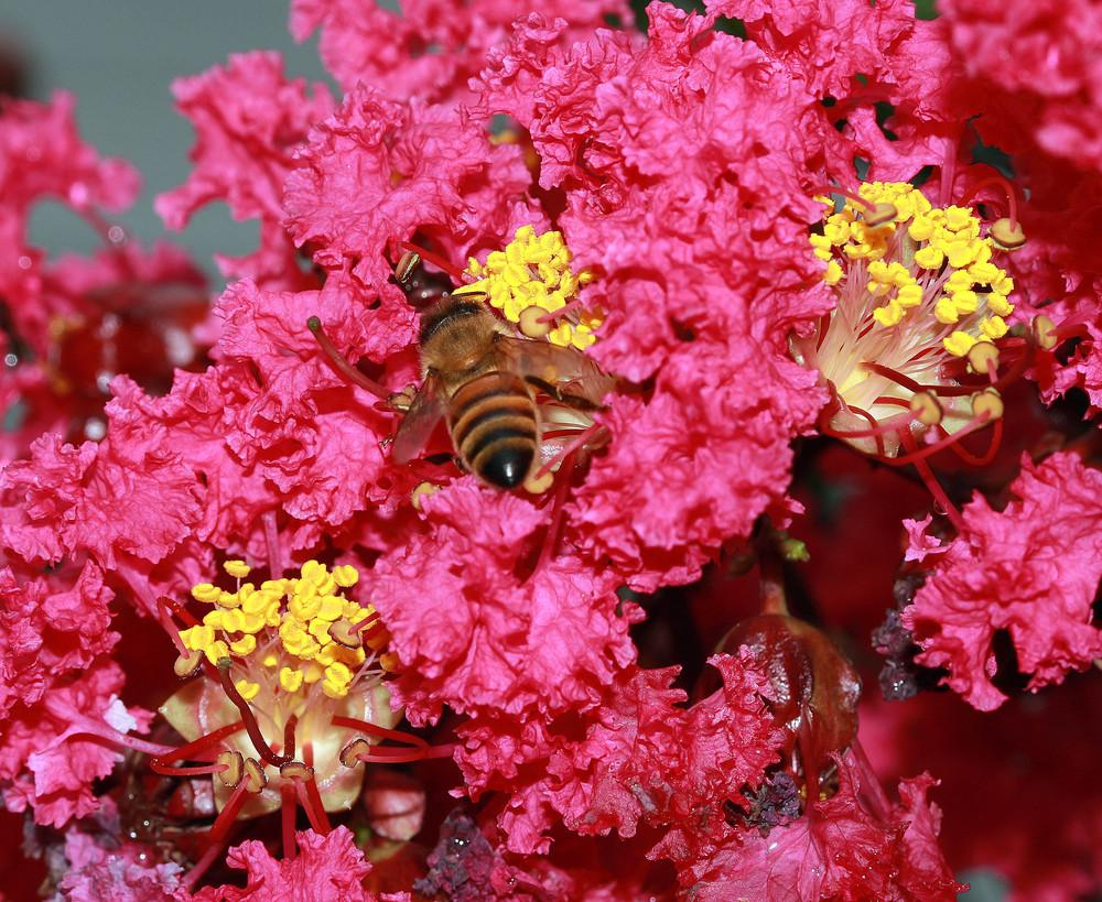 Photo of Crepe Myrtles (Lagerstroemia) uploaded by luvsgrtdanes