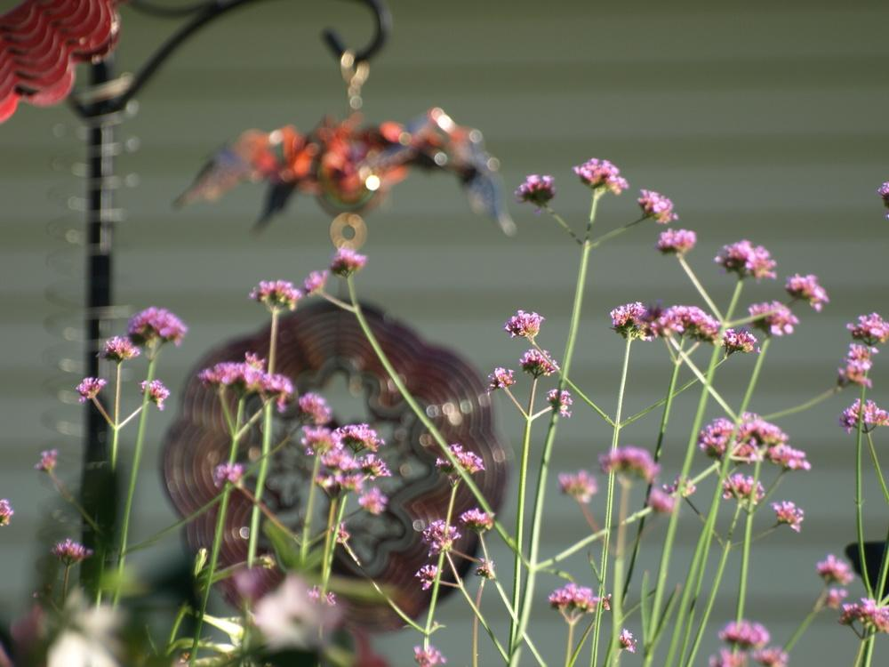 Photo of Tall Verbena (Verbena bonariensis) uploaded by Onewish1