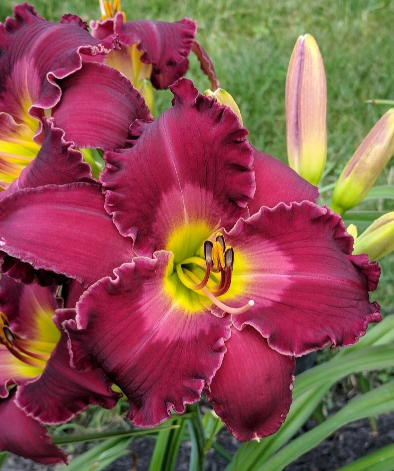 Photo of Daylily (Hemerocallis 'Love in a Vacuum') uploaded by JimTim