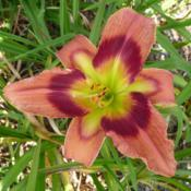 Location: Along The Fence Daylilies, Dansville, MIDate: 2018-07-28