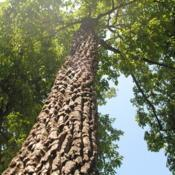 Location: Downingtown, PennsylvaniaDate: 2018-07-29looking up a trunk of a large tree