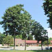 Location: Downingtown, PennsylvaniaDate: 2018-07-29three trees