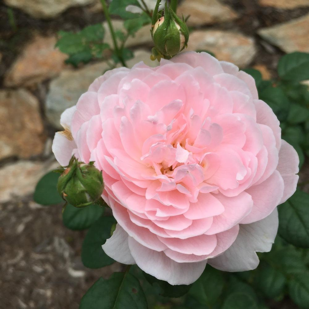 Photo of Rose (Rosa 'Queen of Sweden') uploaded by csandt