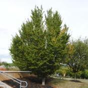 Location: Downingtown, PennsylvaniaDate: 2015-09-25specimen planted at a community college campus
