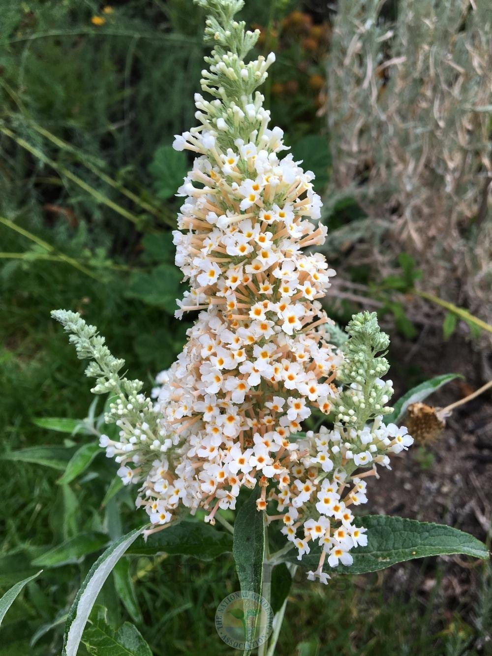 Photo of Butterfly Bush (Buddleja davidii Buzz™ Ivory) uploaded by BlueOddish
