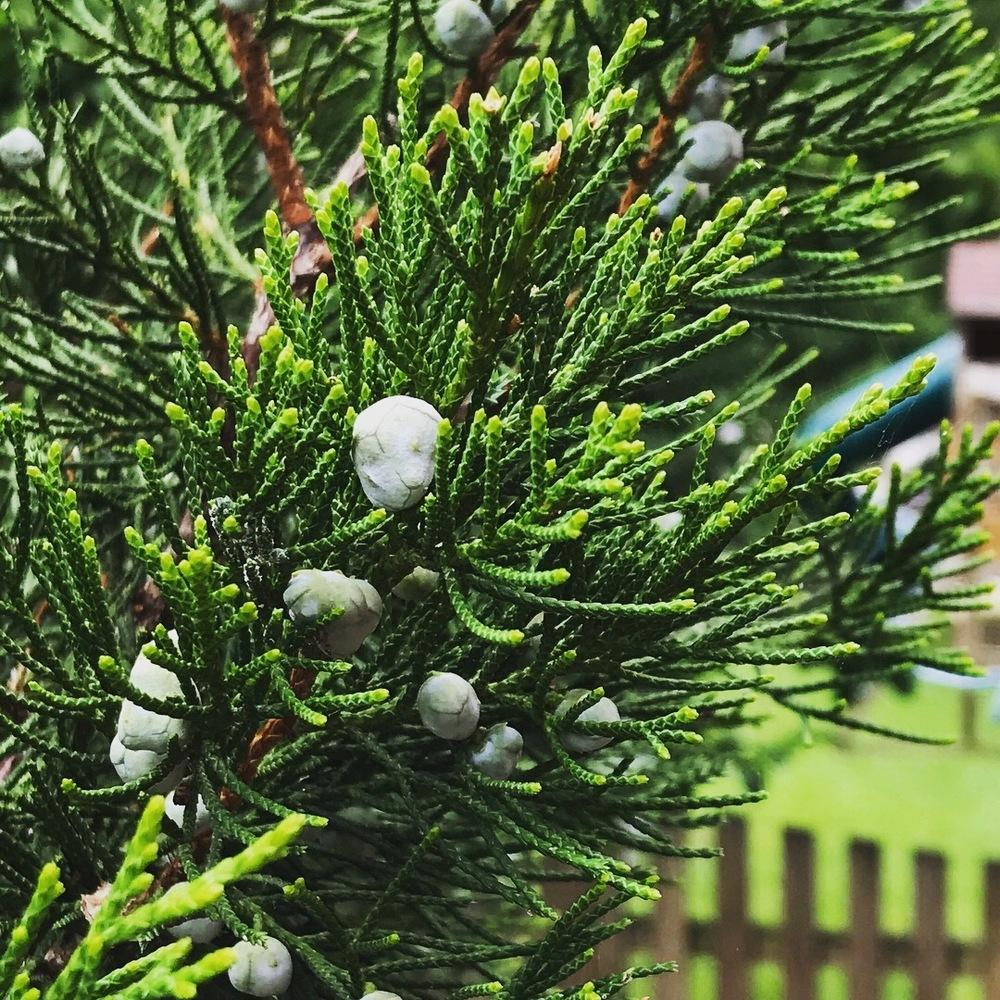 Photo of Juniper (Juniperus) uploaded by Mefforde