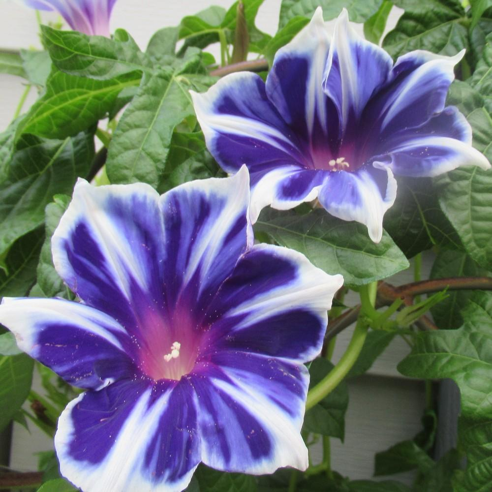 Photo of Morning Glory (Ipomoea nil 'Kikyo Snowflakes') uploaded by stilldew