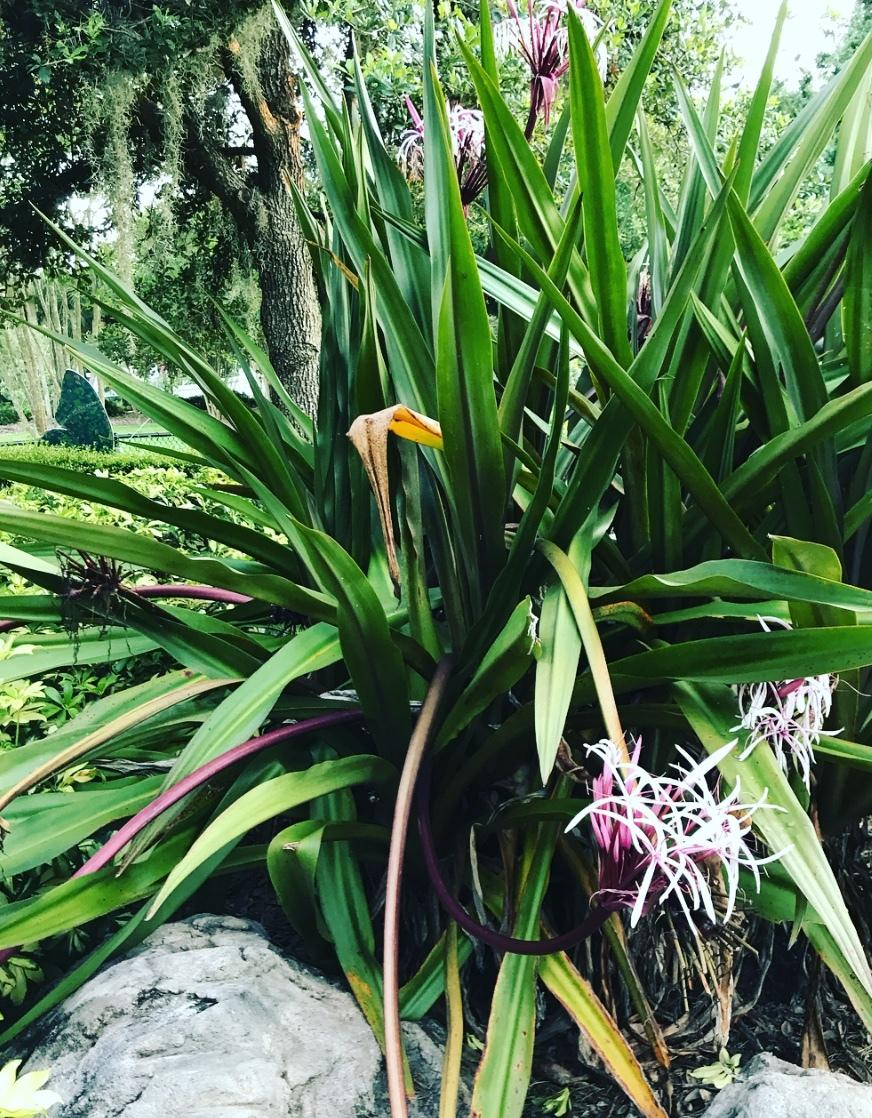 Photo of Giant Spider Lily (Crinum x amabile) uploaded by Mefforde