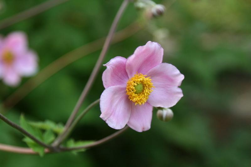 Photo of Japanese Anemone (Eriocapitella hybrida 'Robustissima') uploaded by Calif_Sue