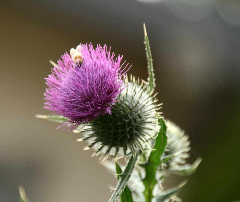 Photo of Thistle (Cirsium) uploaded by Calif_Sue