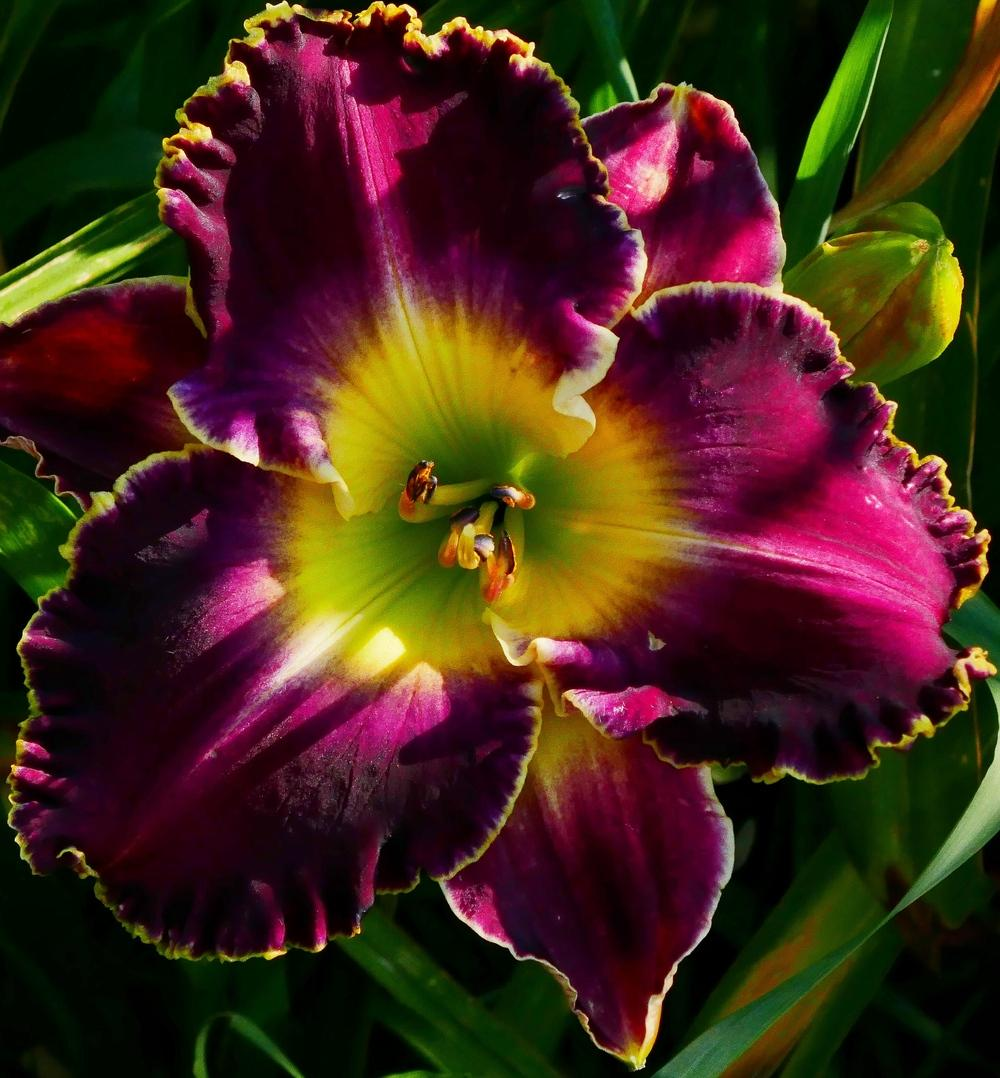 Photo of Daylily (Hemerocallis 'Soli Deo Gloria') uploaded by Charlemagne
