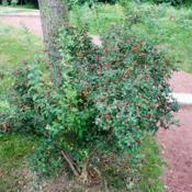 Location: Wheaton, IllinoisDate: 2014-08-19shrub with red berries