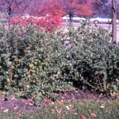 Location: Morton Arboretum in Lisle, IllinoisDate: fall in the 1980'stwo shrubs in a parking lot island