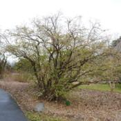 Location: Tyler Arboretum near Media, PennsylvaniaDate: 2012-02-15full-grown shrub in late winter