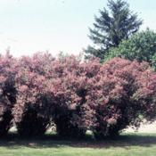 Location: Batavia, IllinoisDate: May in 1980'sfull-grown shrubs in bloom