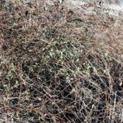 Location: Downingtown, PennsylvaniaDate: 2014-01-17a messy vine mass in winter