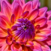 Location: Fellows Gardens, Youngstown, OhioDate: 2013-08-29Dahlia Flower 017