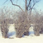 Location: Aurora, IllinoisDate: winter in the 1980'sbare shrub group on hospital grounds