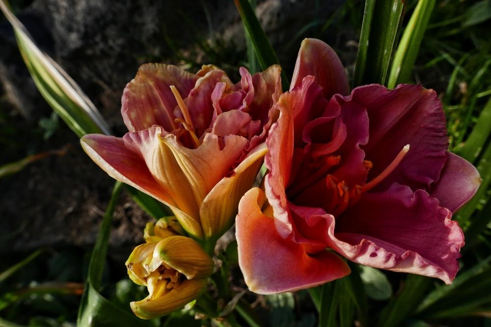 Photo of Daylily (Hemerocallis 'Siloam Double Classic') uploaded by Charlemagne