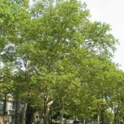Location: West Chester, PennsylvaniaDate: 2008-07-29row of trees at West Chester University