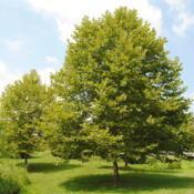 Location: Thorndale, PennsylvaniaDate: 2010-07-21maturing trees in a park